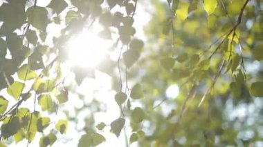 Foliage on the tree  in the sun — Stock Video