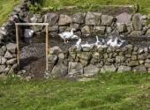 Goose in their enclosure — Stock Photo