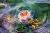 Jellyfish, Seydisfjordur Iceland24 — Stock Photo