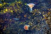 Jellyfish, Seydisfjordur Iceland29 — Stock Photo