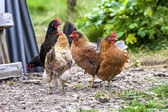 Colorful Roosters in Iceland3 — Stock Photo