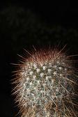 Cactus bouchent — Photo