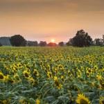Summer landscape: beauty sunset over sunflowers field — Stock Photo #60795691