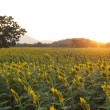 Summer landscape: beauty sunset over sunflowers field — Stock Photo #60796185
