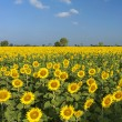 Blooming field of sunflowers on blue sky — Stock Photo #60797131