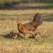 Newborn chickens and her mother hen — Stock Photo #63266037