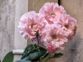 Pink Multiple Rose — Stock Photo