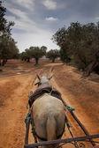 White horse olive Grove, Tunus — Stok fotoğraf
