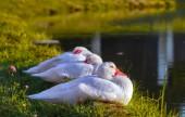 Trzy domestick kaczka — Zdjęcie stockowe