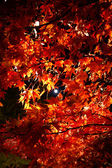Night view of autumn leaves in Japan — Stock Photo