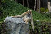 Scimmia su una pietra — Foto Stock