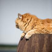 Krásná červená kočka — Stock fotografie
