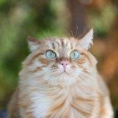 美丽的红猫 — 图库照片