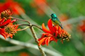 A Bird on a Red Flower, South Africa — Stock Photo