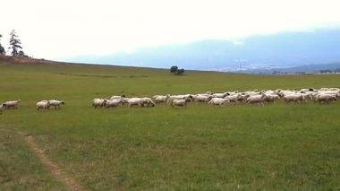 Surprise-herd sheep in tourism. — Stock Video