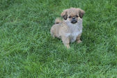 Puppy on green grass — Stock Photo