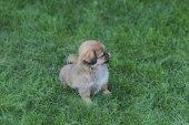 Сгеу dog on the grass — Stock Photo
