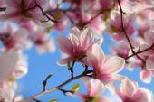 Magnolia flowers closeup — Stock Photo