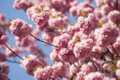 Spring japanese cherry blossoming — Stock Photo