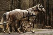Beautiful horses in herness — Stock Photo