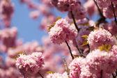 Spring cherry blossom — Foto de Stock