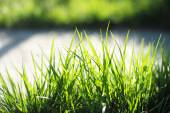 Green grass closeup — Stock Photo