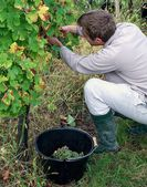A young man picking ripe white grapes — Stock Photo