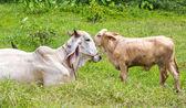 Cows in thailand — ストック写真