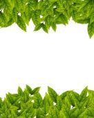 Zelené listy na bílém pozadí — Stock fotografie