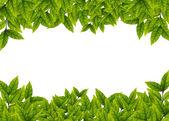 Gröna blad på vit bakgrund — Stockfoto