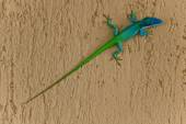 A two coloured lizard — Stock Photo