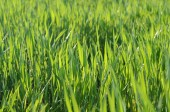 Grass close up in the light of the sun — Stock Photo