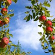 Beautiful colored fresh ripe apples on apple tree branch in the  — Stock Photo #53288049