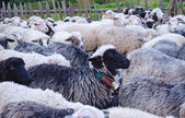Cute sheep in the herd (cattle) — Stock Photo