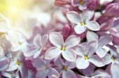 Lilac flowers close up in pastel colors — 图库照片
