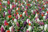 Ljusa blomkål bakgrund med vårblommor (anti-stress, — Stockfoto