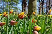 Prachtige landschap met een bomen en tulpen in het park Keukenho — Stockfoto