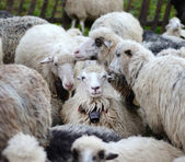 Smiling sheep in the herd sheep (recognition, environment, joy, — Stock Photo
