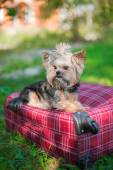 Yorkshire Terrier sitting on suitcase — Stock Photo