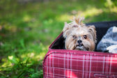 Yorkshire Terrier sitting into suitcase — Stock Photo