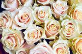 Ljusa rosa rosor bakgrund — Stockfoto