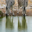 Постер, плакат: Two zebras drinking