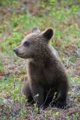Cub of a brown bear — Stock Photo