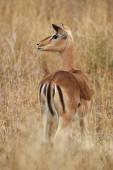 Impala female — Stock Photo