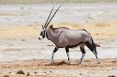 Oryx promenader i savannen — Stockfoto