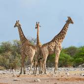Three giraffes in the Etosha National Park — Photo