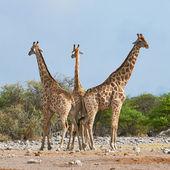 Three giraffes in the Etosha National Park — Стоковое фото