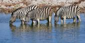 Three zebras drinking — Stock Photo