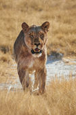 Lioness walking  frontally in  Etosha National Park — ストック写真