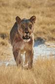 Lioness walking  frontally in  Etosha National Park — Foto Stock